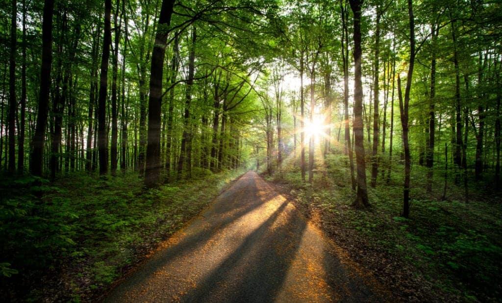 Grön skog i motljus